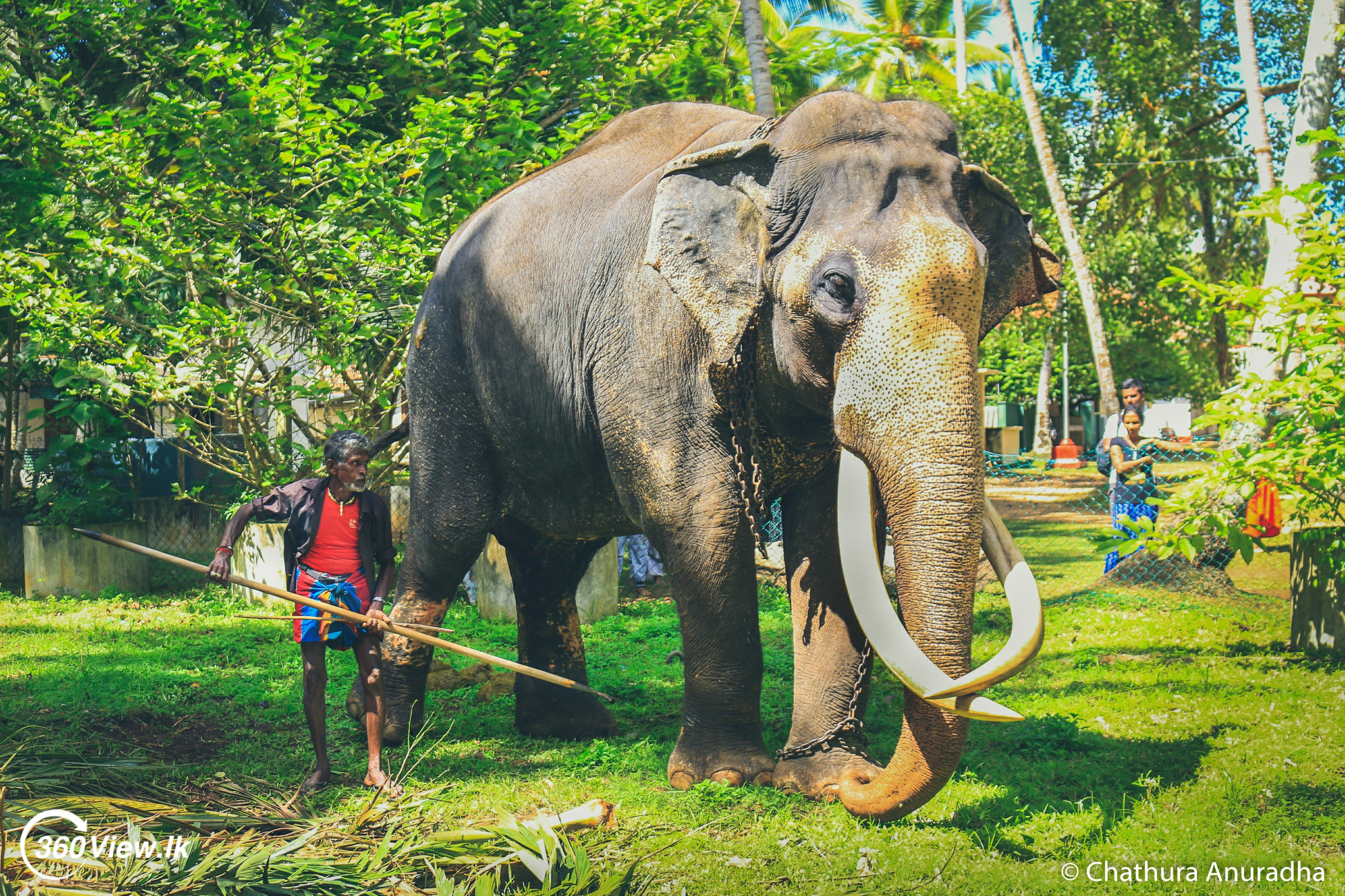 Nadungamuwa Raja Tusker – The Tallest Tamed Tusker
